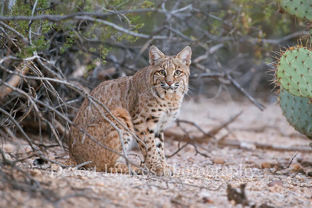 Bobcat<br /> Tucson, AZ