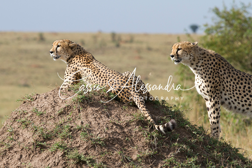 Once again, the 3 male cheetah brothers  are the center of attentions, this time they have been seen cruising a part of their vast territory to perform scent marking all over - keeping their realm demands good care.