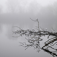 Seagulls sitting on a fallen tree over a lake on a misty day