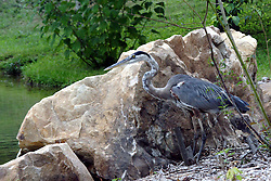 July 2007: Great Blue Heron, Chattanooga Nature Center. Attractions near Chattanooga Tennessee. Point Park, National Park Service - Lookout Mountain, TN. (Photo by Alan Look)