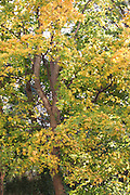 Autumn colours, maple tree