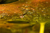 Water boatman, family Corixidae, under a waterlily leaf underwater, Danube Delta, Romania. A water boatman is an aquatic insect that inhabit ponds and slow moving streams, where they swim near the bottom. There are about 500 known species worldwide, in 33 genera.