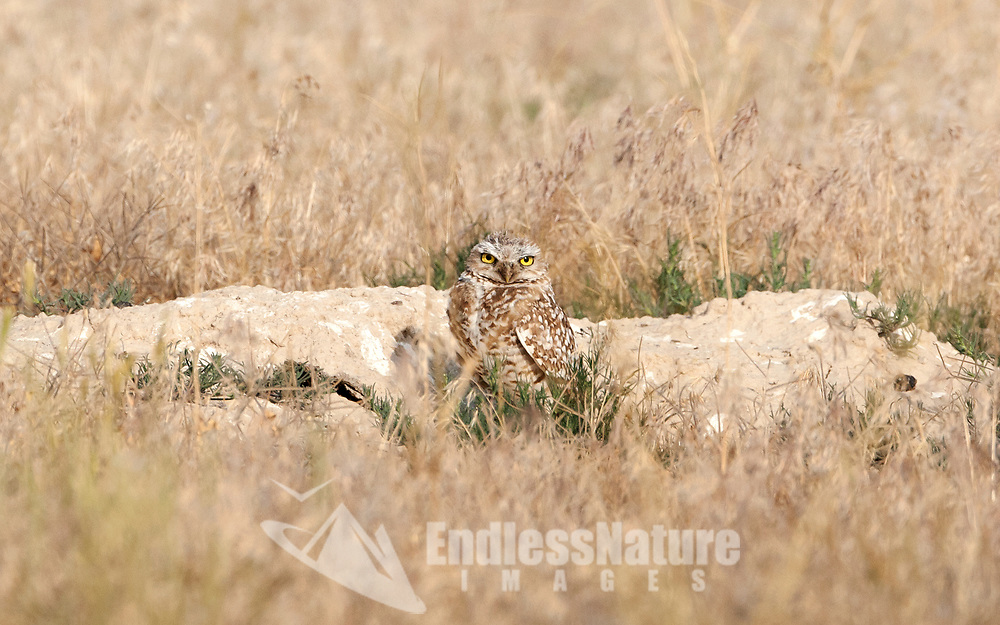 In the west desert of northern Utah a Burrowing Owl takes time to investigate the day outside of its burrow.
