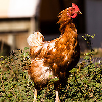 Moulting chicken: moulting is the periodic replacement of feathers by shedding old feathers while producing new ones.