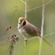 The spot-breasted parrotbill (Paradoxornis guttaticollis) is a species of bird in the Sylviidae family.