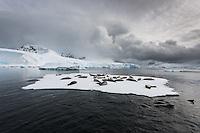 Weddelrobben auf Eisscholle, Antarktis