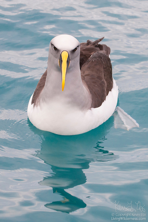 A Buller's Mollymawk (Thalassarche bulleri) rests on the Pacific Ocean off the coast of Kaikoura, New Zealand. Buller's Mollymawks are also known as Toroa-teoteo. The Buller's Mollymawk is found on the coastal waters of New Zealand's South and Stewart islands.