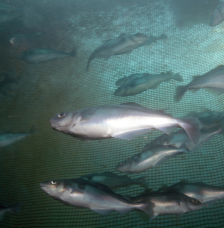 Haddock (Melanogrammus aeglefinus) in a fish farm. Location: Norway