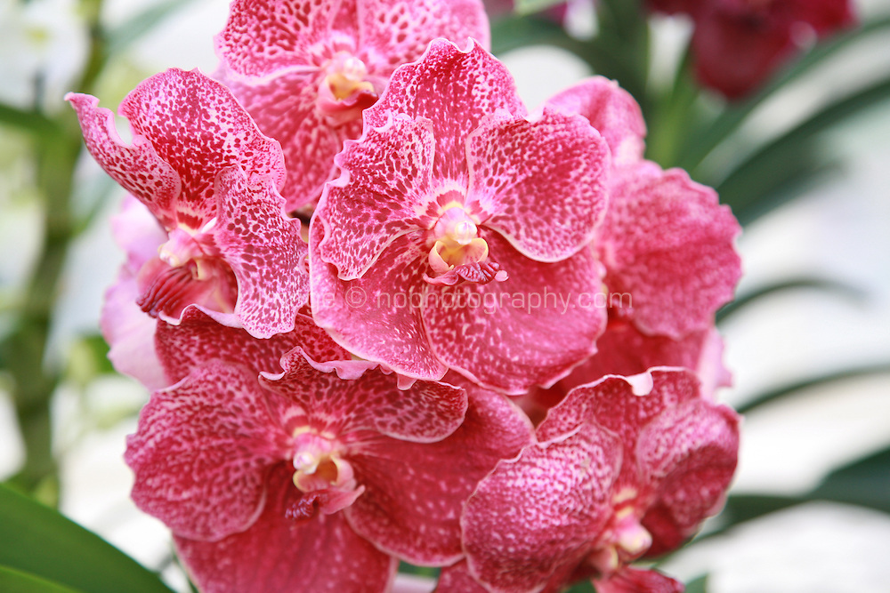 Close up of red Orchid plant flowers. Photography by Doreen Kennedy