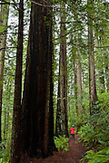 Walk Riverview Trail in Loeb State Park along Chetco River to Redwood Nature Trail in Siskiyou National Forest, Curry County, Oregon, USA. This is the world's northernmost redwood grove. The coast redwood (Sequoia sempervirens, in the cypress family Cupressaceae) is the tallest tree species on Earth, reaching up to 379 feet (115.5 m) high and up to 26 feet (7.9 m) diameter at breast height. This evergreen tree can live 1200 to 1800 years or more. Since the 1850s, more than 95% of the original old-growth redwood forest was cut down for lumber in its range along coastal northern California and southwestern Oregon.