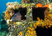 Moray eel, (Muraena helena) watching out from a hole in the artificial reef, Larvotto Marine Reserve, Monaco, Mediterranean Sea<br /> Mission: Larvotto marine Reserve