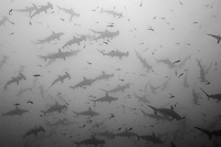 Schooling Scalloped Hammerhead Sharks, grainy<br /> <br /> <br /> Shot at Cocos Island, Costa Rica
