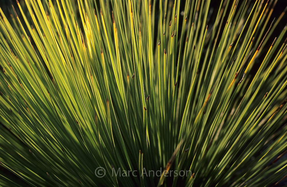 Close up of the needlelike leaves of a grass tree, Xanthorrhoea, Royal National Park,  Australia.