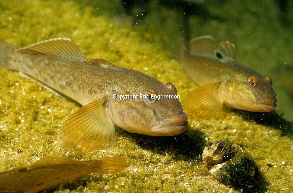 Round Goby with Zebra Mussel<br /> <br /> ENGBRETSON UNDERWATER PHOTO