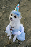 31st October 2009. Topanga, California. Much Love Animal Rescue's 6th Annual Bow Wow Ween! an annual Halloween event that helps find homes for stray animals and neglected pets. Pictured is Phoebe the Pomeranian chihuahua mix dressed as Cinderella. PHOTO © JOHN CHAPPLE / www.chapple.biz.john@chapple.biz  (001) 310 570 9100.