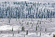 A bull moose stands in the boreal forests after an early snow in Denali National Park, McKinley Park, Alaska
