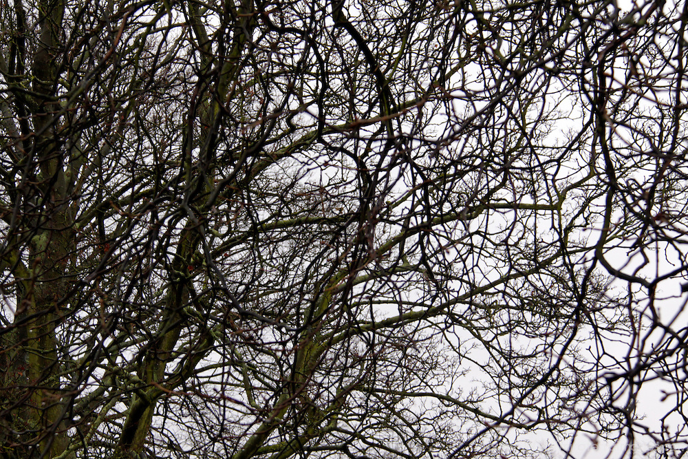 Europe, UK, England, Hertfordshire, Bushey. Bare tree branches of winter.