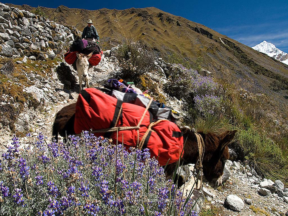 Burros carry loads down from Chopicalqui Base Camp.