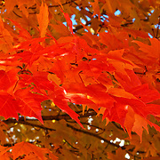 """Autumn Maple"" 2<br />