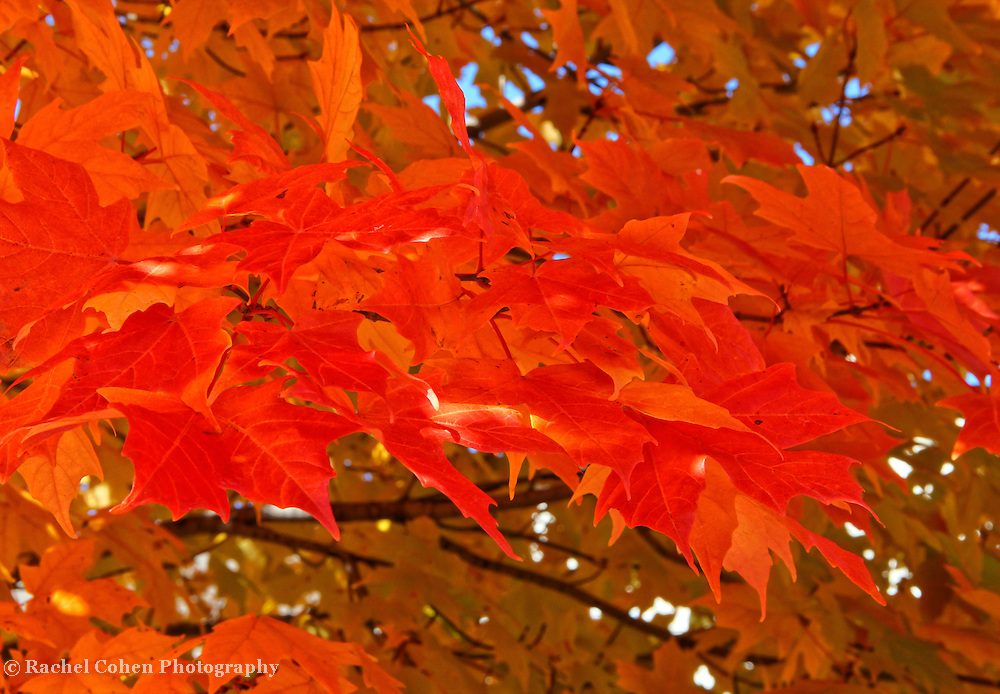 &quot;Autumn Maple&quot; 2<br />