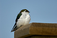 Violet-green Swallow (Tachycineta thalassina), , British Columbia, Canada   Photo: Peter Llewellyn