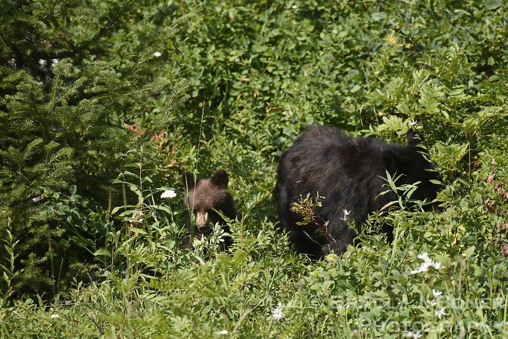 Black bear and cub in Grand Teton National Park