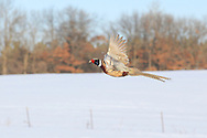 Ringneck rooster flying over a snow-covered field.