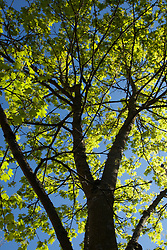North America, United States, Washington, Bellevue, looking up into tree