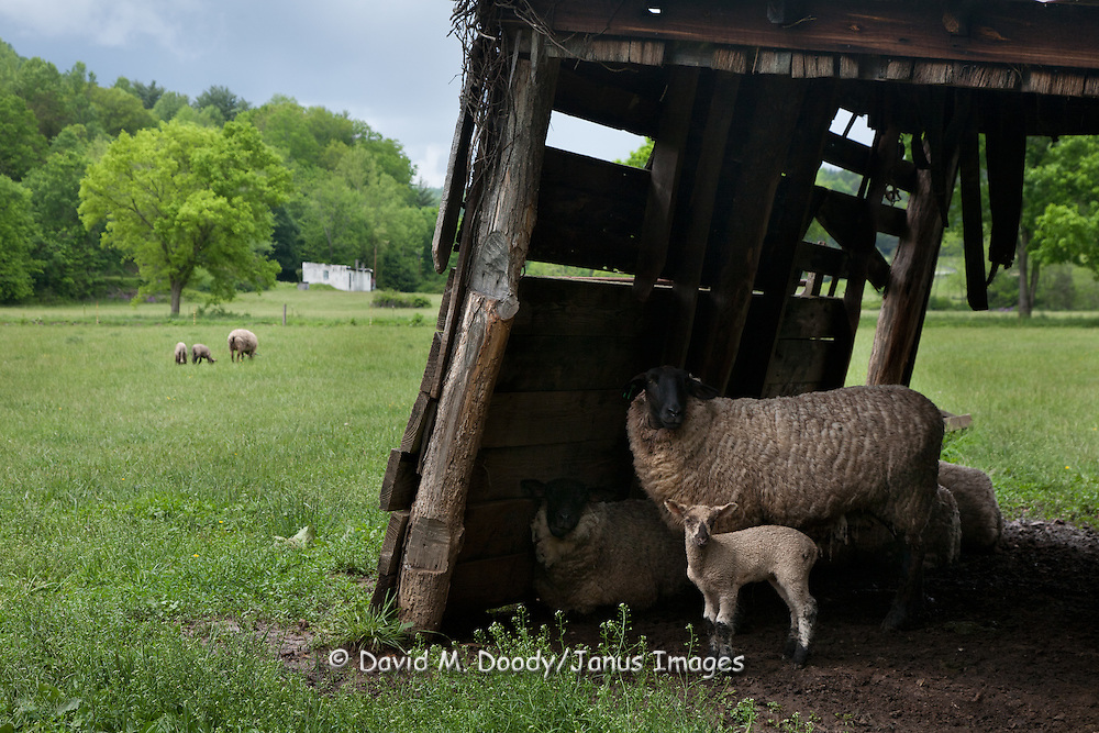 Indian Creek watershed. South-Eastern West Virginia farmland with sheep and lambs  May 2011 NO RELEASES