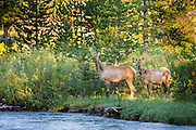 Elk at the Snake River (waiting for their fawn to cross the river) in Grand Teton National Park