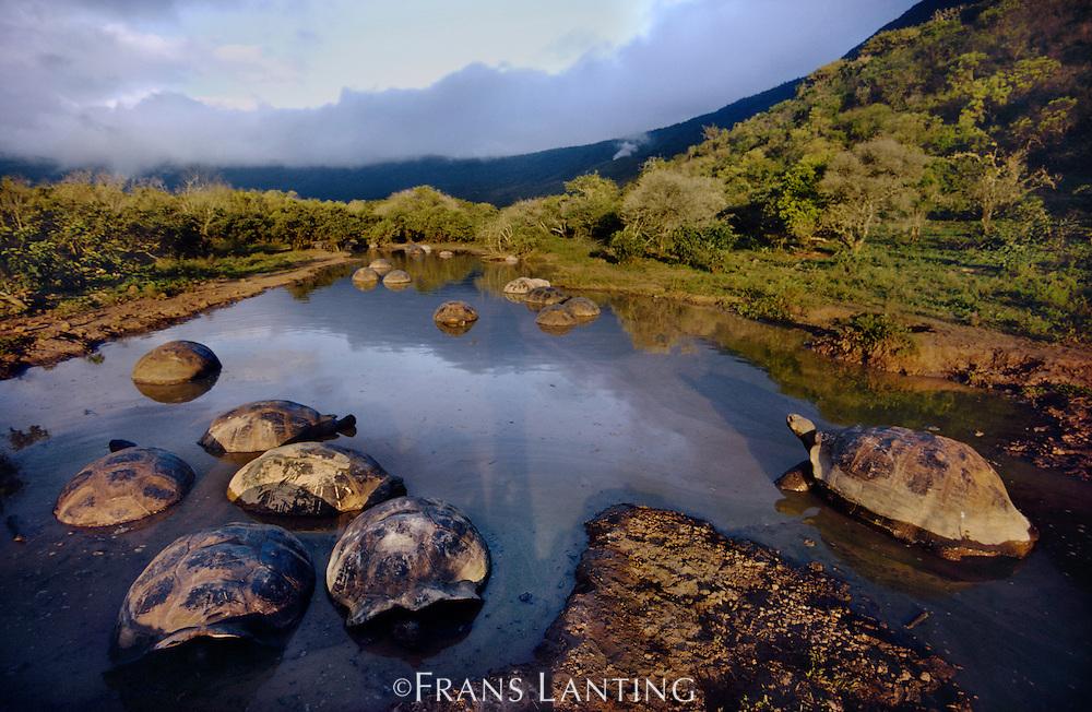 Giant tortoises in pond, Geochelone nigra, Alcedo Volcano, Isabela Island, Galapagos Islands