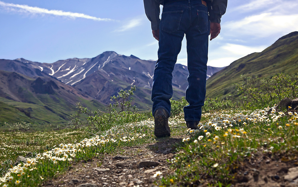 Alaska; Low perspective of hiker near Stoney Creek, through a field of Mountain Avens (Dryas octopetala), Denali National Park.