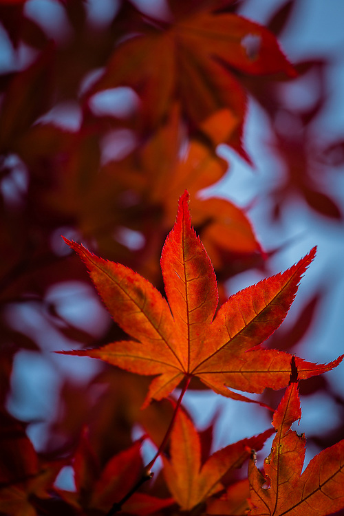 In Japan, Koyo Season is that time in Autumn when the leaves turn their colors. One of the most beloved trees is the japanese maple whose leaves turn a bright red.