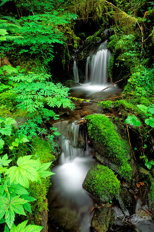 Lush groundcover and creek along the east fork of the Quinault River, Quinault Rain Forest, Olympic National Park, Washington
