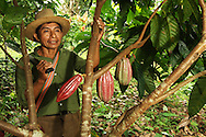 A Mayan Cacao Farmer with a machet on his shoulder cares for one of his cacao trees at his plantation in the rainforest.  Location is southern Belize, near village of Crique Sarco.