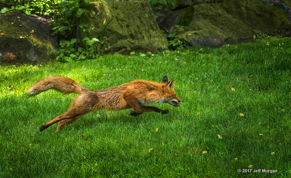 An adult male Red Fox runs for cover after being discovered.