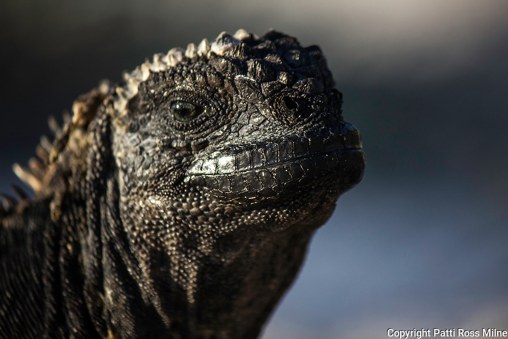 A marine Iguana basking in the sun.