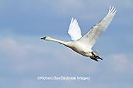 00759-00315 Tundra Swan (Cygnus columbianus) in flight at Prairie Ridge State Natural Area, Marion Co., IL