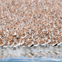 Western Sandpipers and Dunlin rest during their northward migration in the Copper River Delta at the edge of Prince William Sound.