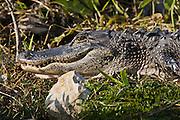Alligator in The Everglades, Florida, United States of America