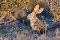 Scrub Hare sunning at dawn, Namaqua National Park, Northern Cape, South Africa,