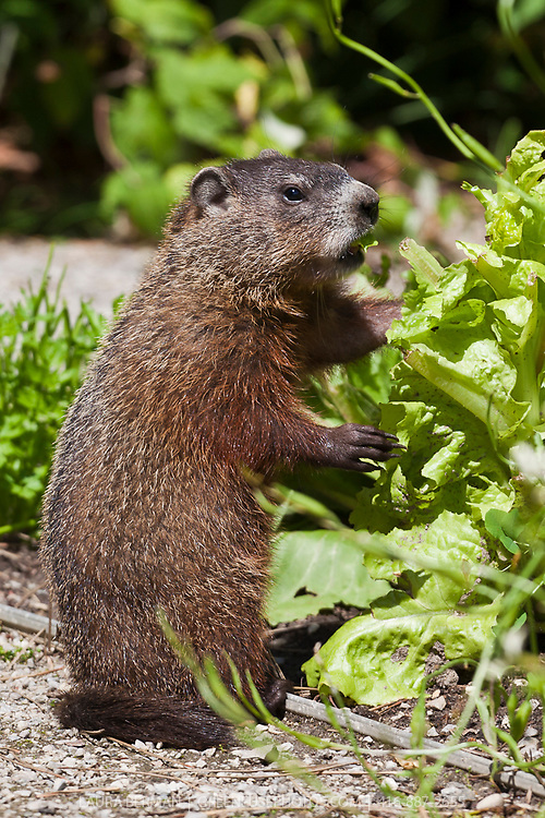 A groundhog chows down on lettuce in the  kitchen garden.