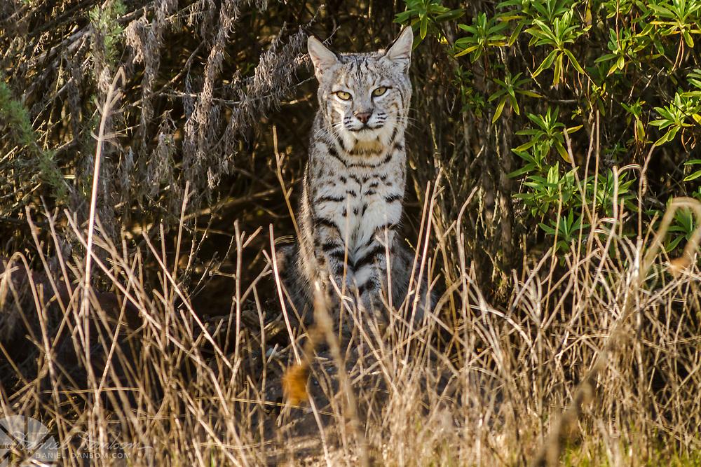 Bobcat at Pasadera, residential area, Monterey, California