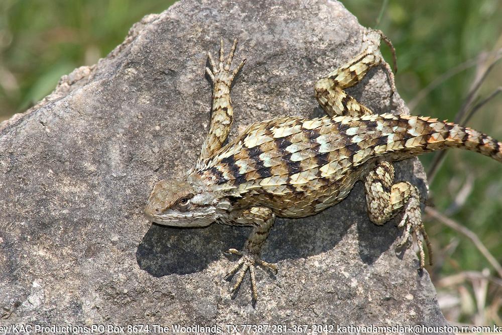 Texas Spiny Lizard.Sceloporus olivaceus.near Vanderpool, Bandera Co., Texas.30 April 2005