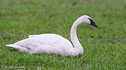 A Tundra Swan rests on the feeding grounds