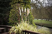 Maidenhead, United Kingdom.  General View, Pampas Grass. Raymill Island banks of the River Thames. <br /> <br /> Friday  03/02/2017 <br /> <br /> © Peter SPURRIER,<br /> <br /> Leica Camera AG  LEICA M (Typ 262)  1/250 sec.  mm 1.4 100 ISO.  28.9MB