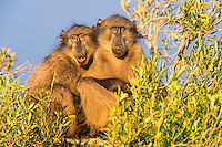 Chacma Baboon sunning in the early morning light, De Hoop Nature Reserve, Western Cape, South Africa