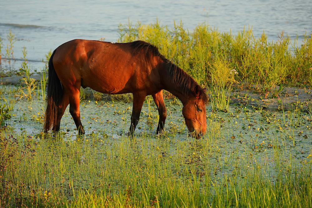 Domestic horse, living wild, Sfinthu Gheorghe, Danube delta rewilding area, Romania