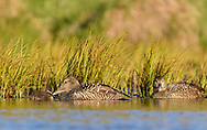 Eider duck with young, Iceland