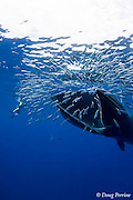 Bryde's whale, Balaenoptera brydei or Balaenoptera edeni, feeding on baitball of sardines or pilchards, Sardinops sagax, off Baja California, Mexico ( Eastern Pacific Ocean ); photographer Nathan Meadows and a striped marlin are in background (whale has rolled on side with lower jaw facing Nathan)